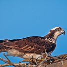 Osprey on Nest by Daniel  Parent