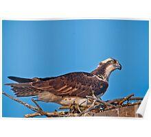 Osprey on Nest Poster