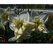 Daffodils of Spring Photographic Print