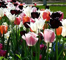 Tulip Grand Finale by MarianBendeth