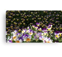 Field of Violas Canvas Print