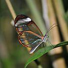 Glasswing Butterfly by Dorothy Thomson