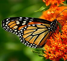Monarch on Butterfly Weed by Brent McMurry