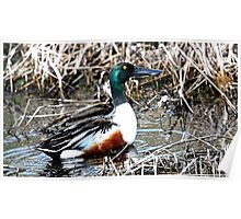 Northern Shoveler (Long Billed Duck) Poster