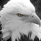 American Bald Eagle by Abigail Shirley