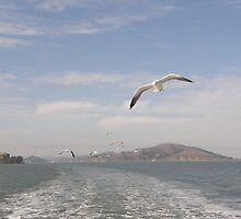 Sea Birds Alcatraz San Francisco USA by mikequigley