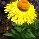 Straw Flower by DearMsWildOne