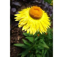Straw Flower Photographic Print