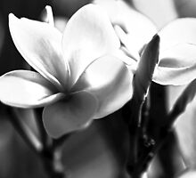 Frangipani In Black And White by Evita
