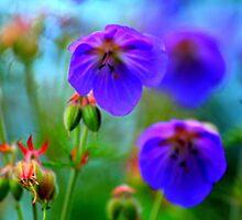 Meadowfoots Cranebill, Symphony in Blue. by Ian Alex Blease