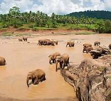 Bathing Time - Pinnawella Elephant Orphanage by Dilshara Hill