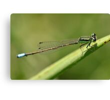 Delicate Blue-tailed Damselfly. Canvas Print