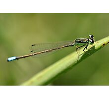 Delicate Blue-tailed Damselfly. Photographic Print