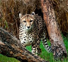 """On The Prowl"" by Heather Thorning"