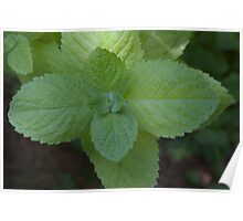 Apple Mint (as-is) Poster