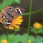Buckeye Butterfly by Lori Deiter