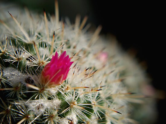 Pink flowering cactus by Melissa-Louise