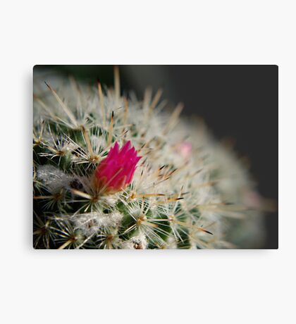 Pink flowering cactus Metal Print