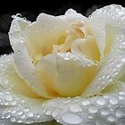 White rose after rain by ShineArt
