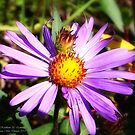 Piggyback - Alpine Aster by rocamiadesign