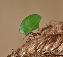 Leaf-cutter Ant by Dorothy Thomson