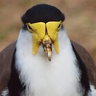 Masked Lapwing  --- Canberra  Australia by shortshooter-Al