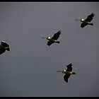 Flight of the Pelicans!  by Anna Ryan