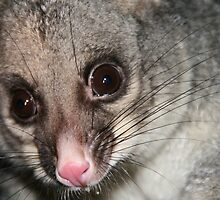 Kitten the possum by Denzil