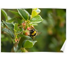 Bumble bee finding nectar Poster