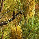 110619 Lesurue National Park Banksia 1 by Jaxybelle
