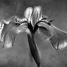 Japanese Iris by adygarden