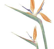 Strelitzia reginae by Vanessa Pasqualetto