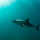 Great white shark by Fiona Ayerst