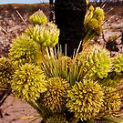 110619 Lesueur National Park Grass tree in flower 4 by Jaxybelle