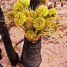 110619 Lesueur National Park Grass tree in flower 3 by Jaxybelle