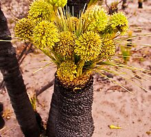 110619 Lesueur National Park Grass tree in flower 3 by Jaxybelle