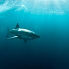 Side view of a great white shark by Fiona Ayerst