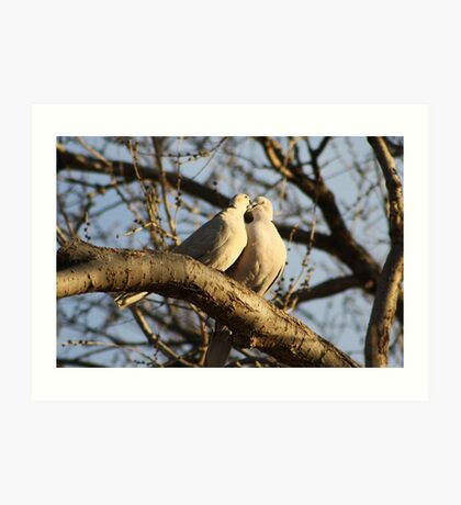Collared Doves Art Print