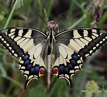 Continental Swallowtail by Hugh J Griffiths