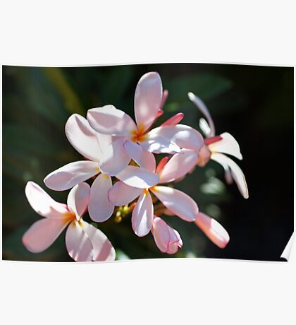 Plumeria Tranquility Poster