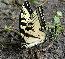 Swallow tail by froogl