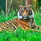 Tiger 2: HDR by JLaverty