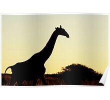 Silhouetted Giraffe Poster