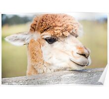 Alpaca by itself in a field  Poster