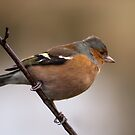 Chaffinch  by M.S. Photography/Art
