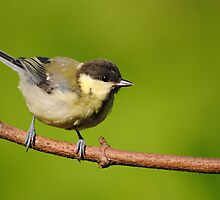 Great tit ~ Juvenile by M.S. Photography/Art