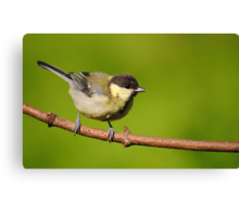 Great tit ~ Juvenile Canvas Print