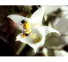 Gathering Pollen - Bee on Flower Photographic Print