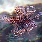 Lion Fish - Broome, northern West Australia by wilmac