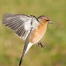 Chaffinch ~ Hovering by M.S. Photography/Art